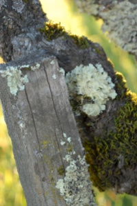 Moss on the fence by Tim Carl